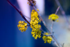 Little yellow spring flowers, branch with yellow little flowers. Branch with yellow little flowers, twig shrub with small yellow flowers in the garden at Royalty Free Stock Photo