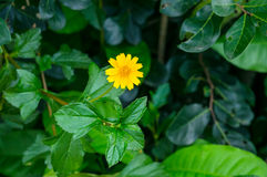 Little yellow star, field  Little yellow star Stock Photos