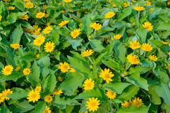 Little yellow star flower. Backgroud stock photos