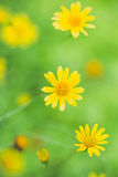 Little yellow star flower Royalty Free Stock Images