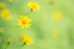 Little yellow star flower Royalty Free Stock Photography