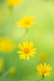 Little yellow star flower in soft focus Stock Photography