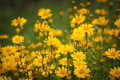 Little yellow star flowers Royalty Free Stock Images