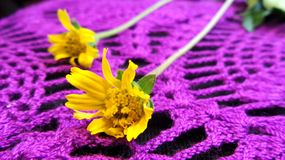 Little Yellow Star flowers on purple lace Stock Images