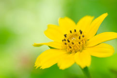 Little yellow star in green nature Royalty Free Stock Image