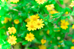 Little yellow star, Singapore Daisy Stock Image
