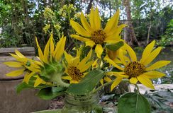 Little yellow sunflowers in clear glass flower  in the garden Stock Photo
