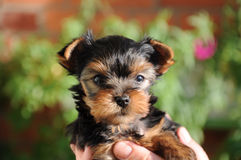 Little yorkie Royalty Free Stock Image