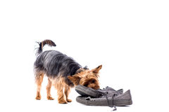 Little Yorkie chewing on old trainers. Cute playful little Yorkie, or Yorkshire terrier, chewing on a pair of old trainers, isolated on white with copyspace Royalty Free Stock Image