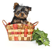Little Yorkie Puppy Stock Images