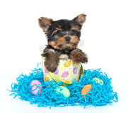 Easter Yorkie Puppy Royalty Free Stock Image