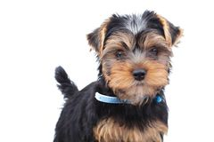 Little yorkie puppy standing Royalty Free Stock Image
