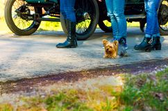Yorkshire terrier laying down between legs royalty free stock photo