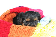Little yorkshire puppy in scarf Royalty Free Stock Image