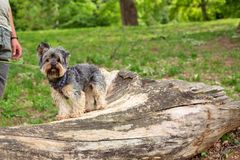 Little Yorkshire Terrier enjoying in park royalty free stock photography