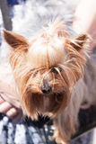 Little Yorkshire terrier on hands of the person Stock Photography