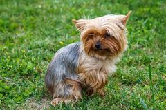Little Yorkshire Terrier posing an grass. stock photo