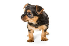 Little Yorkshire Terrier puppy Stock Photography