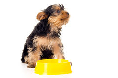 Little Yorkshire Terrier puppy with a bowl Stock Photos