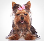 Little yorkshire terrier puppy dog looking sleepy Stock Photos