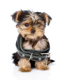 Little Yorkshire Terrier  puppy wearing dog collar Royalty Free Stock Images