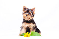 Little Yorkshire terrier puppy Stock Photos