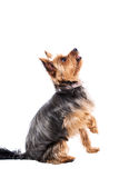 Little yorkshire terrier waiting for food Stock Photography