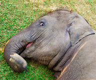 Little young elephant lying on the grass Stock Photography