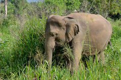 Little young elephant in nature walking in high grass Stock Image