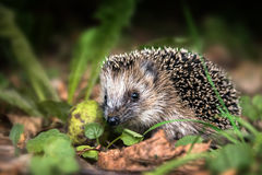 Little young hedgehog (Erinaceus europaeus) in autumn forest loo. King for food in the undergrowth, selected focus, narrow depth of field Stock Image