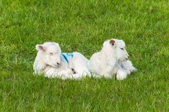 Little young lamb twins lie on the green grass. Two baby lambs lie down on green meadow royalty free stock images
