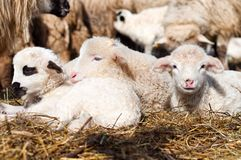 Little young lambs smiling at camera and sleeping Stock Photo