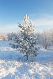 Little Young Pine Covered With Snow Royalty Free Stock Photos