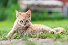 Little young red kitten lie down and relax. On the grass royalty free stock photos