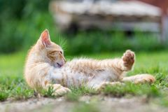 Little young red kitten lie down and relax. On the grass stock images