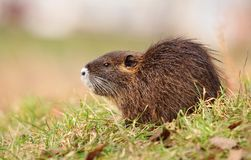 Little young river coypu Stock Image