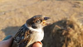 Little young sparrow on the woman hand, close up. Sunset light on summer field. Shallow depth of field stock video