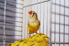 Little Zebra-finch bird  sitting on a basket in a cage Stock Images