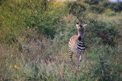 Little zebra grazes in the savanna of Tsavo National Park stock photography