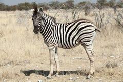 Little zebra portrait namibia. Little zebra portrait, namibia national park Stock Photo