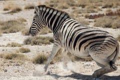 Little zebra portrait namibia. Little zebra portrait, namibia national park Stock Images