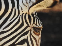 The little zebra tries to follow her mother stock photo