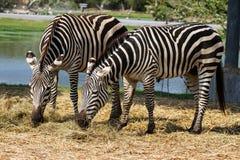 Zebras. Little zebras in the zoo Royalty Free Stock Photo