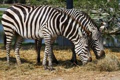 Zebras. Little zebras in the zoo Stock Photography