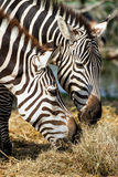 Zebras. Little zebras in the zoo Royalty Free Stock Images