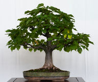 Littleleaf linden as bonsai Royalty Free Stock Photos
