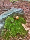 Littlest Mushroom. A mushroom surrounded by moss Royalty Free Stock Photo