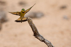 Littlie bee-eater flying to perch to sit and rest Royalty Free Stock Photo