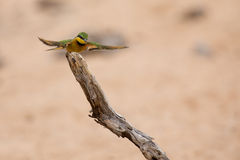 Littlie bee-eater flying to perch to sit and rest Stock Images