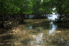 Littoral with young mangrove trees at a low tide Royalty Free Stock Photography